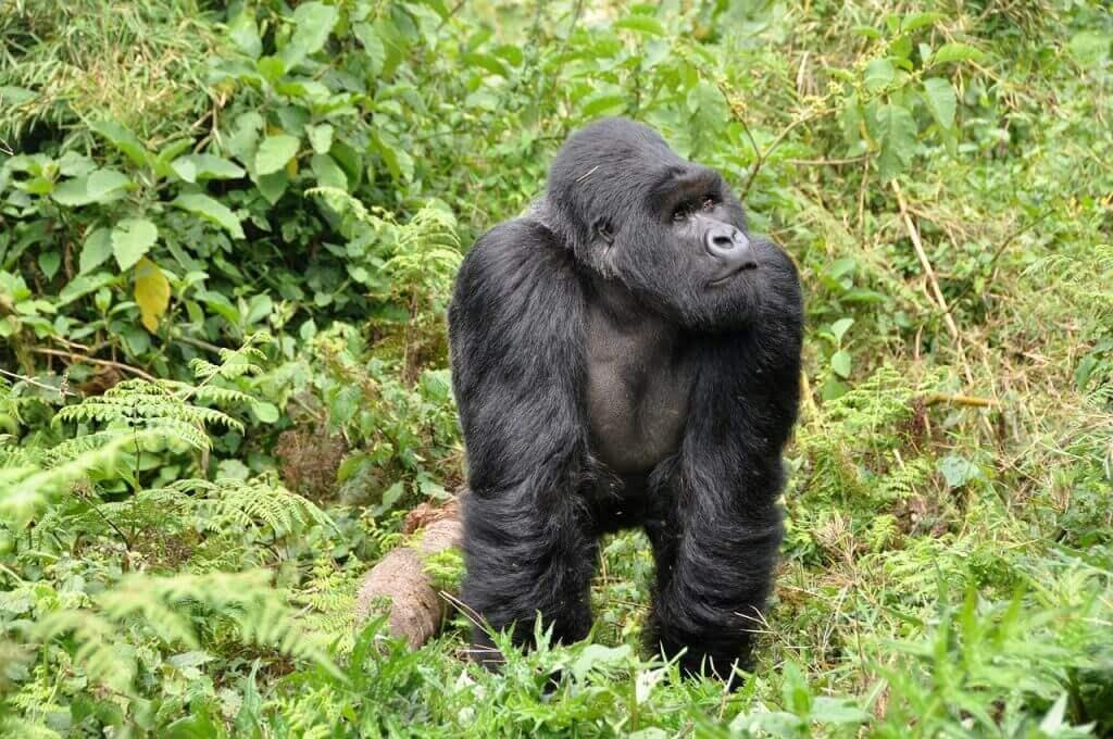 Gorilla in Rwanda Forest