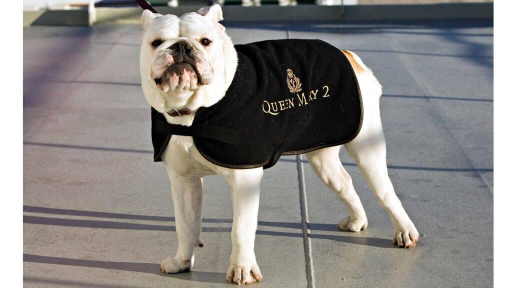 Bulldog on Queen Mary 2 ship