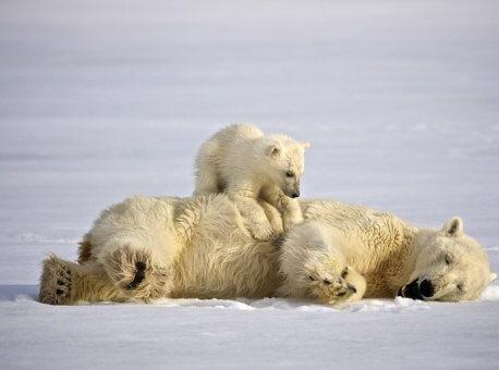 Isbjorn-Svalbard-HGR-31900_1024- Foto_Dominic_Barrington