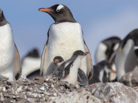 Pingviner-Damoy-Point-Antarktika--HGR-134568_1024- Foto_Genna_Roland