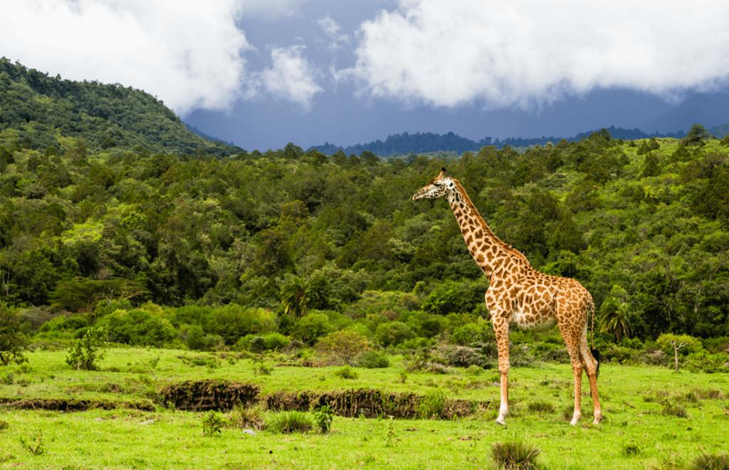 Arusha Tanzania Giraffe