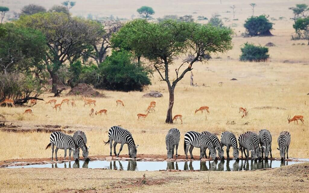 Conservation: Zebras in the watering hole