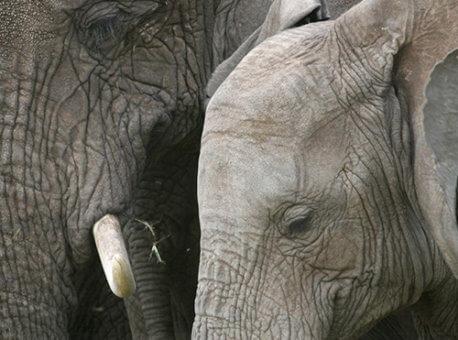 Africa-Tanzania-Elephants