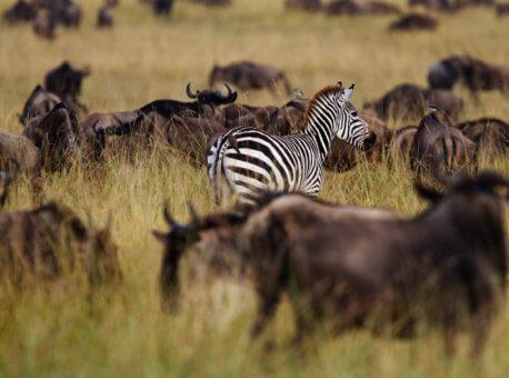 Angama-Mara-Zebra-amongst-the-beasts (1)